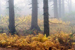 Virginia Pine wood