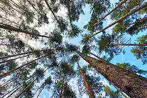Pine tress. When it comes to lumber, it is important to consider the environmental impact