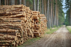 freshly made firewood in the evergreen forest